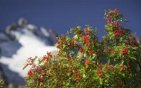 Picture mountains, branches, berries, Bush, bokeh