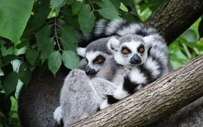 Picture look, leaves, nature, pose, tree, pair, lemur, lemurs, a couple, two, hugs, in the arms …