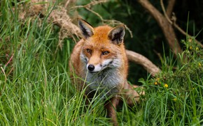Picture nature, predator, Fox, red
