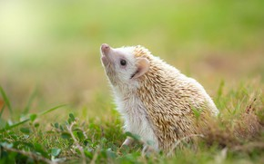 Picture white, grass, look, light, nature, pose, glade, muzzle, hedgehog, spout, leaves, hedgehog, looking up, hedgehog, …