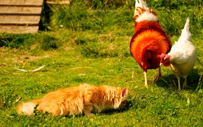 Picture cat, summer, grass, cat, chicken, village, yard, cock