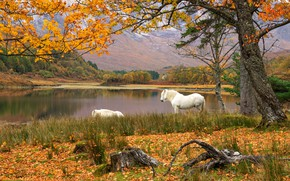 Picture autumn, trees, mountains, branches, shore, foliage, stump, horses, horse, pair, snag, white, falling leaves, drink, …