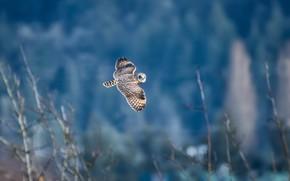 Picture background, owl, bird, flight, bokeh, Short-eared owl