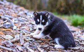 Picture nature, pose, background, dog, slope, baby, puppy, bark, face, sitting, needles, husky, Siberian husky