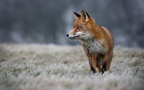 Picture winter, frost, grass, nature, animal, Fox, Fox
