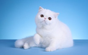 Picture cat, white, look, pose, kitty, background, blue, muzzle, sitting, Studio