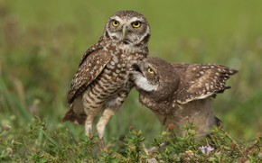 Picture grass, look, birds, pose, owls, a couple, Duo, owls, two birds, secici