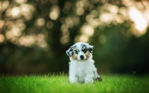 Picture grass, background, glade, dog, baby, puppy, sitting, bokeh, blue-eyed, motley, Aussie