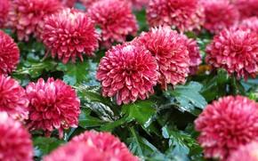 Picture leaves, flowers, garden, red, pink, wet, flowerbed, chrysanthemum, bokeh
