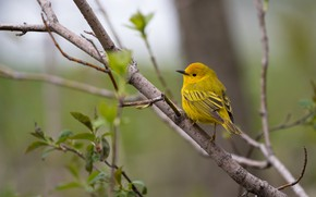 Picture greens, leaves, branches, nature, background, tree, bird, spring, leaves, bird, yellow, little, bright, bird