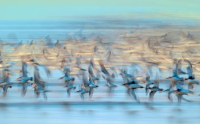 Picture birds, France, pack, Vendee, Dunlin