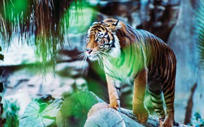 Picture look, tiger, pose, glare, stones, is, zoo, logs, bokeh, blurred background