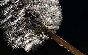 Picture macro, dandelion, black background