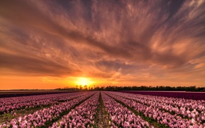 Picture field, the sky, the sun, clouds, sunset, flowers, beauty, the evening, space, pink, the beds, …