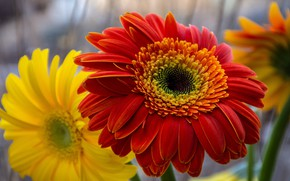 Picture macro, flowers, blur, yellow, petals, red, gerbera