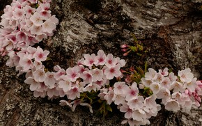 Picture macro, cherry, spring, bark, flowering, flowers