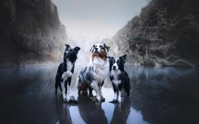 Picture dogs, mountains, lake, trio, Australian shepherd, Trinity, The border collie, Aussie