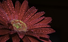 Wallpaper flower, drops, gerbera