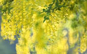 Picture yellow, bokeh, Wisteria