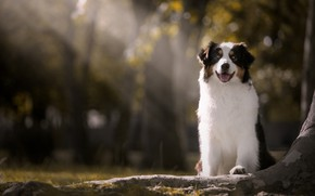Picture rays, dog, bokeh, Australian shepherd, Aussie