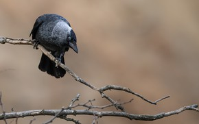Picture bird, branch, crow