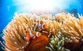 Picture sea, fish, underwater world, anemones, clown fish