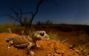 Picture nature, lizard, Smooth knob-tailed gecko, Nephrurus levis