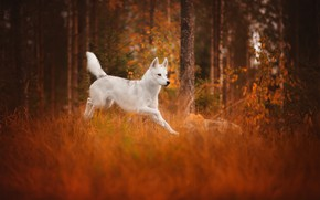 Picture autumn, forest, each, dog