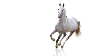 Picture white, look, face, background, animal, horse, horse, light, white, hooves, handsome, horse, clean space, cloven-hoofed