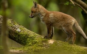 Picture forest, look, branches, pose, baby, log, green background, Fox, Fox