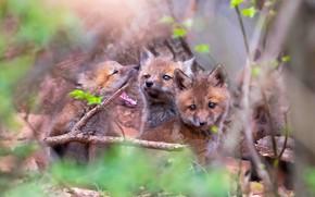 Picture forest, branches, blur, Fox, three, Fox, kids, company, trio, cubs, Fox, Fox, cubs, Trinity, brood, …