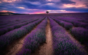 Picture field, tree, the evening, lavender