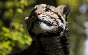 Picture cat, wool, color, Clouded leopard
