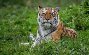 Picture grass, look, tiger, portrait, predator, wild cat