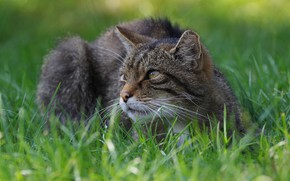 Picture grass, look, face, glade, lies, wild cat