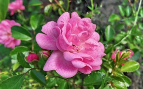 Picture background, rose, pink rose
