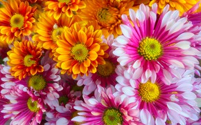 Picture flowers, bouquet, chrysanthemum