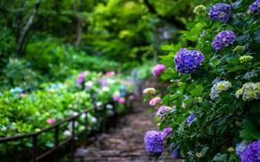 Picture summer, flowers, garden, the bushes, hydrangea