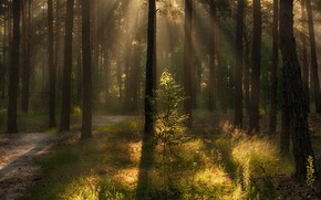 Picture forest, summer, grass, rays, light, trees, branches, fog, trunks, foliage, lighting, track, shadows, haze, pine, ...