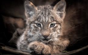 Picture predator, baby, lynx