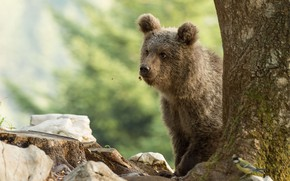 Picture look, face, nature, pose, stones, background, tree, bird, stump, bear, bear, trunk, bear, brown, Peeps, …