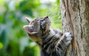 Picture the trunk of the tree, climbs, tabby kitten