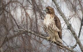 Picture branches, nature, grey, background, tree, bird, hawk, predatory, Buzzard