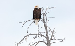 Picture the sky, bird, branch, eagle