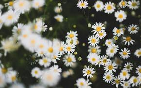 Picture flowers, the dark background, chamomile, white, bokeh, chamomile field