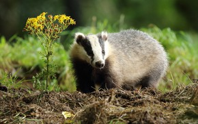 Picture summer, grass, look, nature, yellow, flowers, badger, Bush