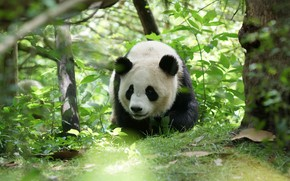Picture face, leaves, nature, pose, thickets, bear, Panda, bear, zoo, bokeh
