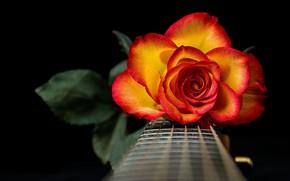 Picture Grif, rose, petals, strings, guitar