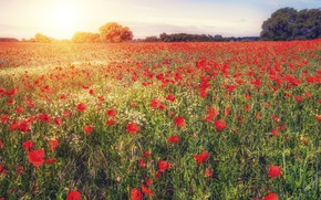Picture summer, the sun, light, flowers, Maki, red, a lot, plantation, poppy field
