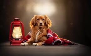 Picture look, background, dog, lantern, plaid, bokeh, Nova Scotia duck tolling Retriever
